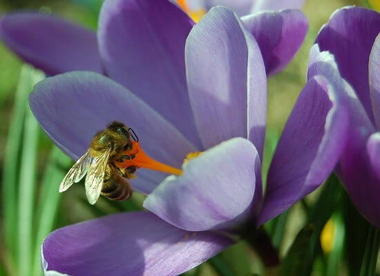 Frühling Krokus